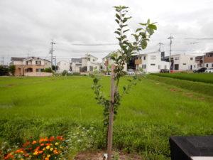 リンゴの木成長