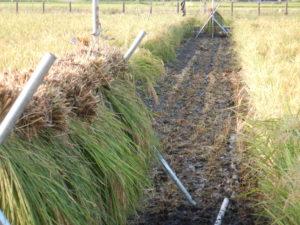 ⑤コシヒカリ 稲刈り開始