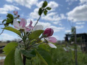 リンゴの木が芽吹きました
