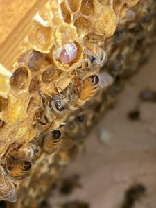 西洋ミツバチの飼育